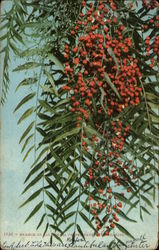 Branch of California Peppertree With Berries