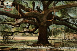 The Largest Live Oak Tree in Florida