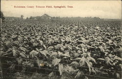 Robertson County Tobacco Field