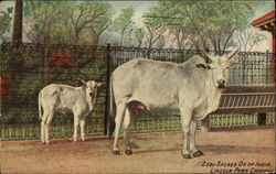 Zebu, Sacred Ox of India, Lincoln Park