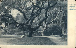 La Conte Oak, University of California