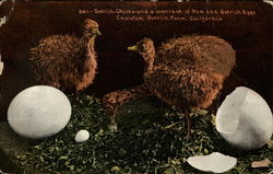 Ostrich Chick and a Contrast of Hen and Ostrich Eggs