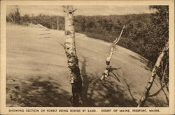 Showing Section of Forest Being Buried by Sand, Desert of Maine