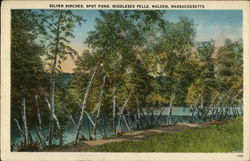 Silver Birches, Spot Pond, Middlesex Fells