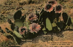 Blossoms of the Opuntia Cactus, A Variety of the Prickly Pear
