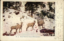Rocky Mountain Sheep in National Park