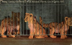 Baby Lions, California Wild Animal Farm