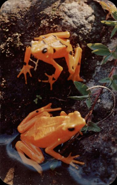 The Golden Frogs of El Valle, Panama