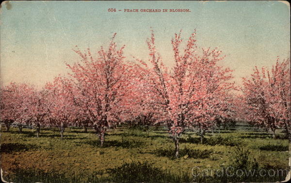 Peach Orchard in Blossom Trees