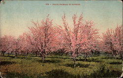 Peach Orchard in Blossom