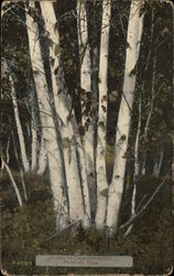 Birches on Constitution Hill Postcard