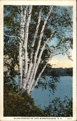 Silver Birches on Lake Winnepesaukee