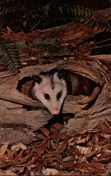 Opossum at Home in Log Gerard Photo