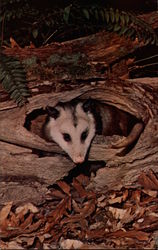 Opossum at Home in Log