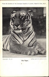 The Tiger, From the Gardens of the Zoological Society of London
