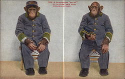 "Chimpanzee ""Baldy"" in Uniform - Zoological Park"