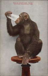 Chimpanzee Baldy, New York Zoological Society