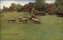 New York Zoological Park - Part of Elk Herd