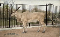 New York Zoological Park - Eland