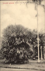 Licuala spinosa - Mangrove Fan Palm