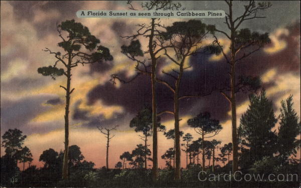 A Florida Sunset as Seen Through Caribbean Pines