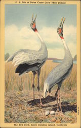 A Pair of Sarus Crane Crow Their Delight