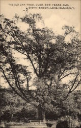 The Old Oak Tree, Over 300 Years Old Postcard