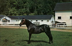 Orcland Bold Fox - Morgan Black Stallion Postcard