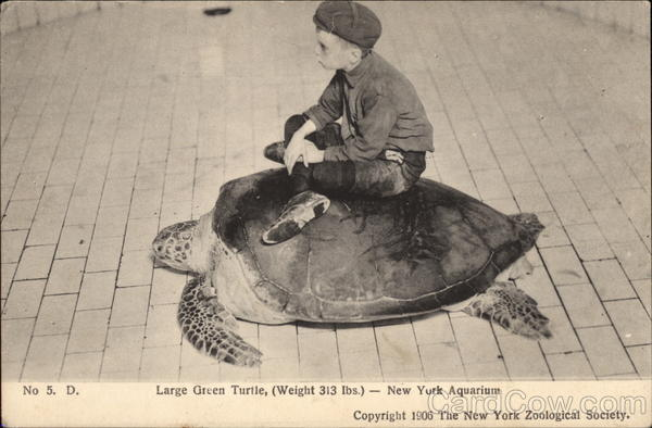 Large Green Turtle, Weight 313 Lbs Brooklyn New York