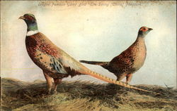 "Oregon Famous Game Bird, ""The Denny (China) Pheasant"""