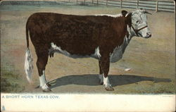 A Short Horn Texas Cow