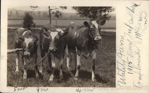 Pure Bred Herd, Utility Farm, 1915 Cows & Cattle
