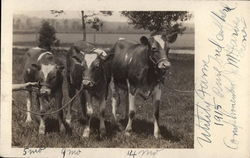 Pure Bred Herd, Utility Farm, 1915