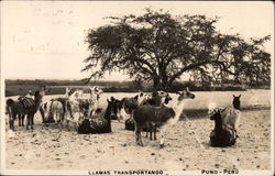 Llamas Transportando Postcard