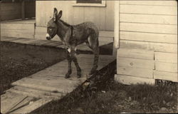 Young Donkey on Decking at Side of House
