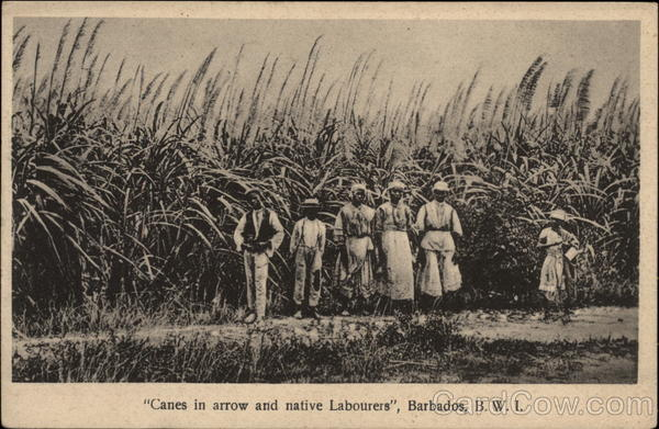 Sugar Cane and Native Workers, Barbados, British West Indies
