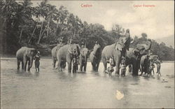 Ceylon Elephants