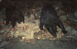 Bears Foraging in Garbage