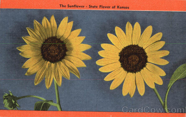The Sunflower - State Flower of Kansas Scenic Flowers