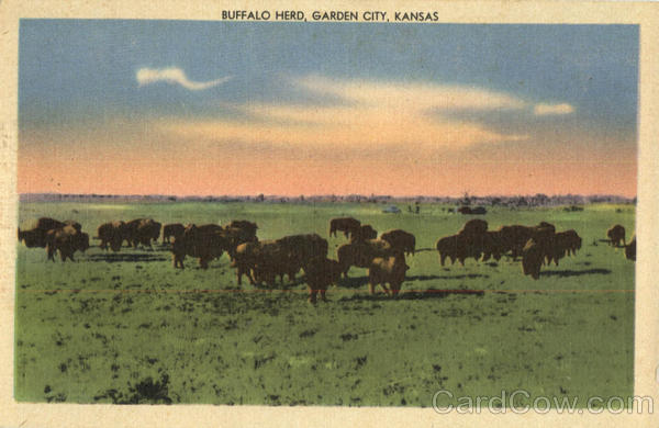 Buffalo Herd Garden City Kansas