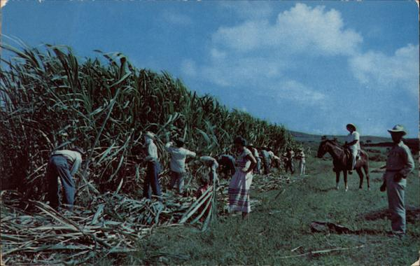 Cane Cutters on St. Croix in the Virgin Islands Caribbean Islands