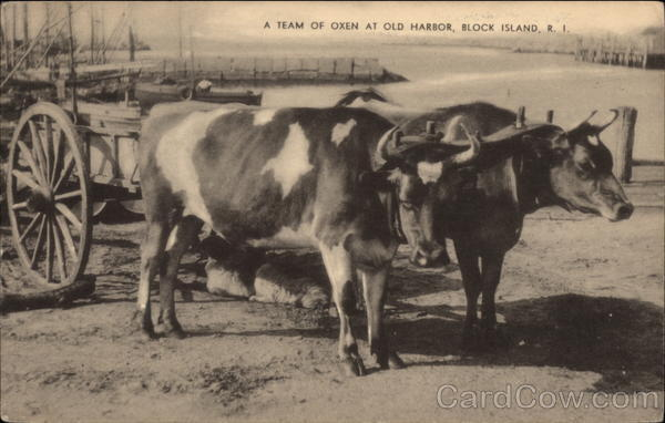 A team of Oxen at Old Harbor Block Island Rhode Island