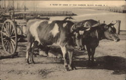 A team of Oxen at Old Harbor