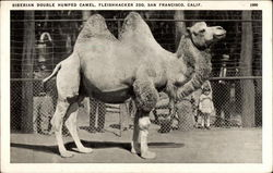 Siberian Double Humped Camel, Fleishhacker Zoo