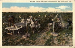 Harvest Time in the Great Concord Grape Belt, along Lake Erie