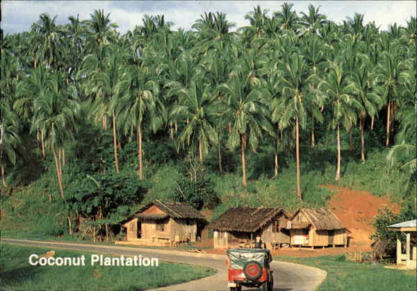 Coconut Plantation Philippines Southeast Asia