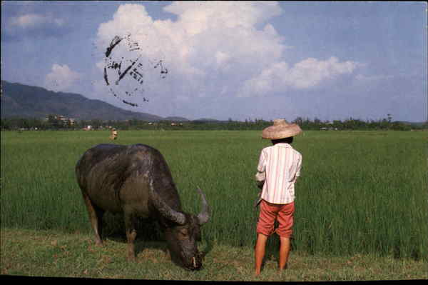 Water Buffalo in Field China