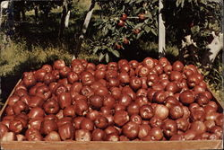 Washington Red Delicious Apples