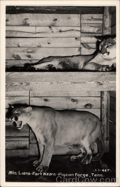 Mountain Lions, Fort Weare Pigeon Forge Tennessee