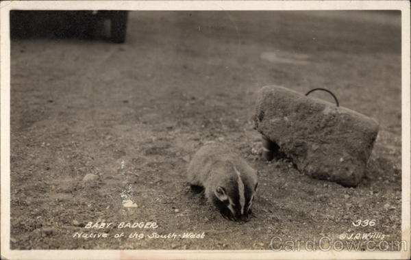 Baby Badger, Native of the Southwest